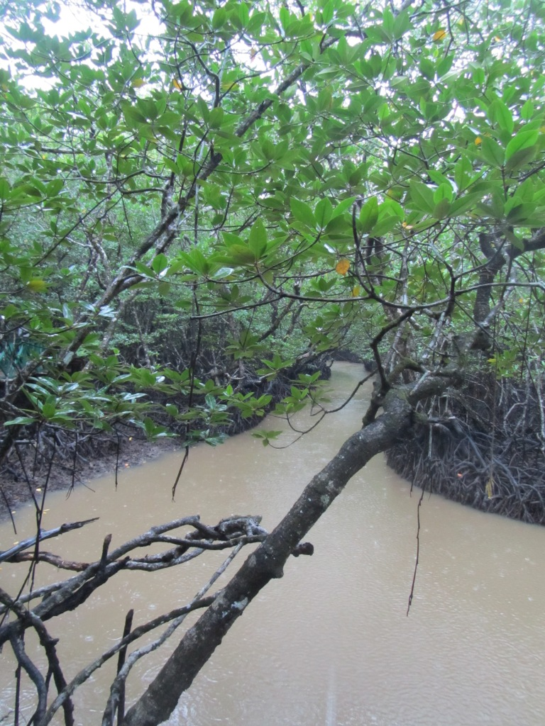 The deep mangroves on the way to Limestone cave
